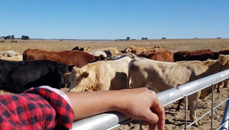 Aboriginal arm on a gate, cattle and big horizon behind