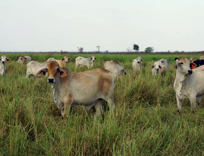 cows grazing at Twin Hill Station, Northern Territory, Australia
