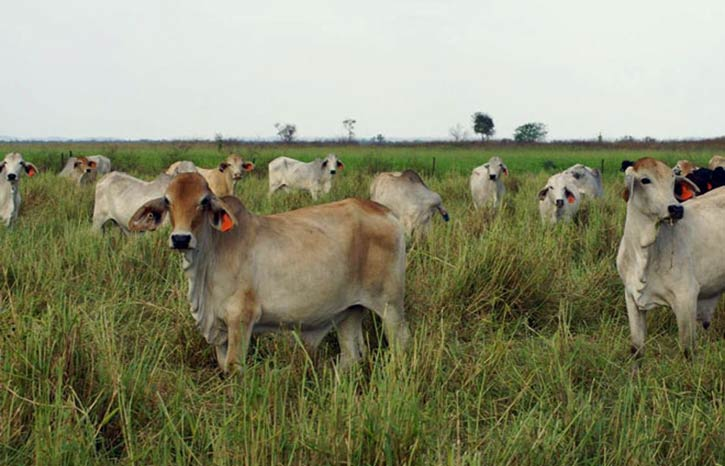 Cows grazing on nutritious grass