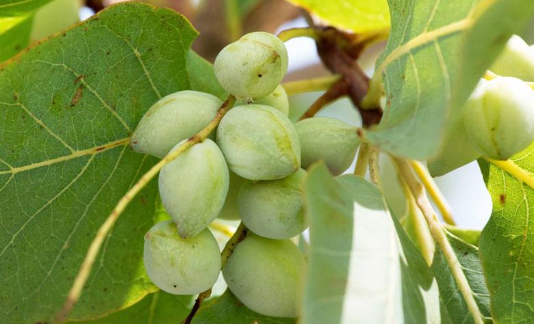 Gubinge, aka Kakadu plums, in a bunch on the tree