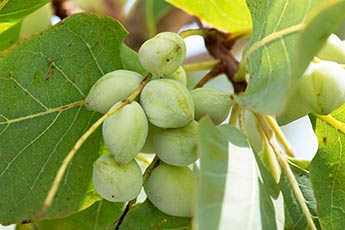 Bunch of small green plums on a gubinge tree