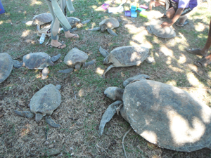 Marine turtles showing signs of a worrying mystery disease. Photo: Gudjuda Reference Group Aboriginal Corporation