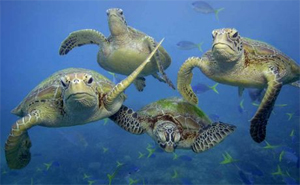 Great Barrier Reef marine turtles. Photo: Daily Mercury, Mackay