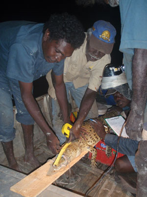 Two male rangers holding down a crocodile and measuring the crocodile with a measuring tape.