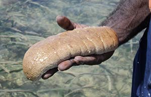 hand holding a sea cucumber above clear salt water